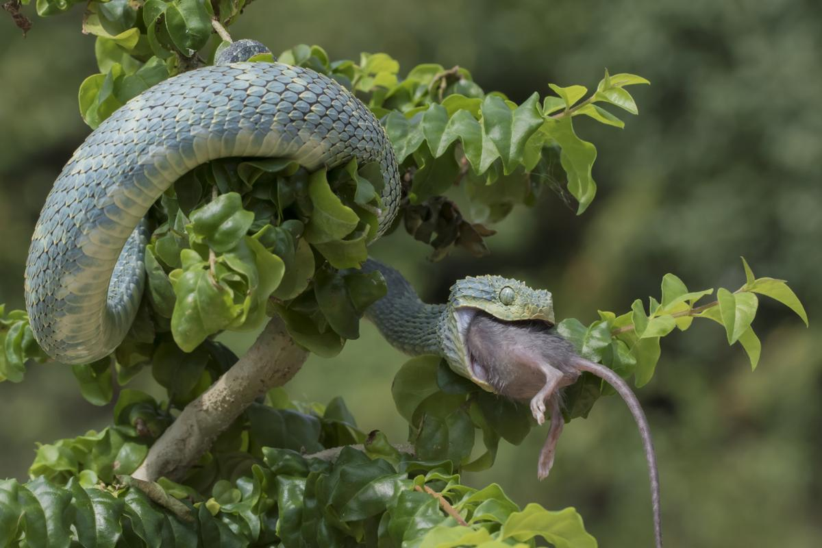 Snakes cannot bite food, that is why they swallow their food.