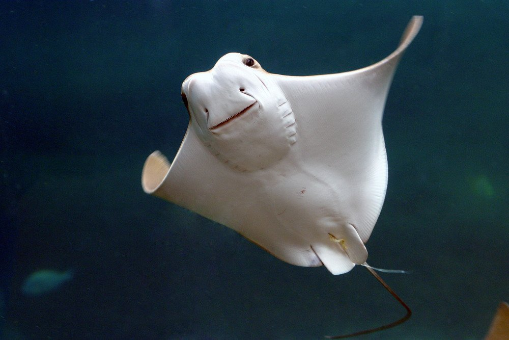 Stingray's bodies are formed up of the same type of cartilage in our ears and noses.
