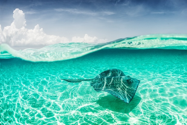 Stingrays give birth 2 and 6 babies a year.