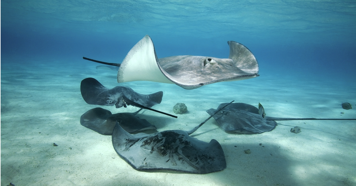 The Stingrays eyes are on top of their body.