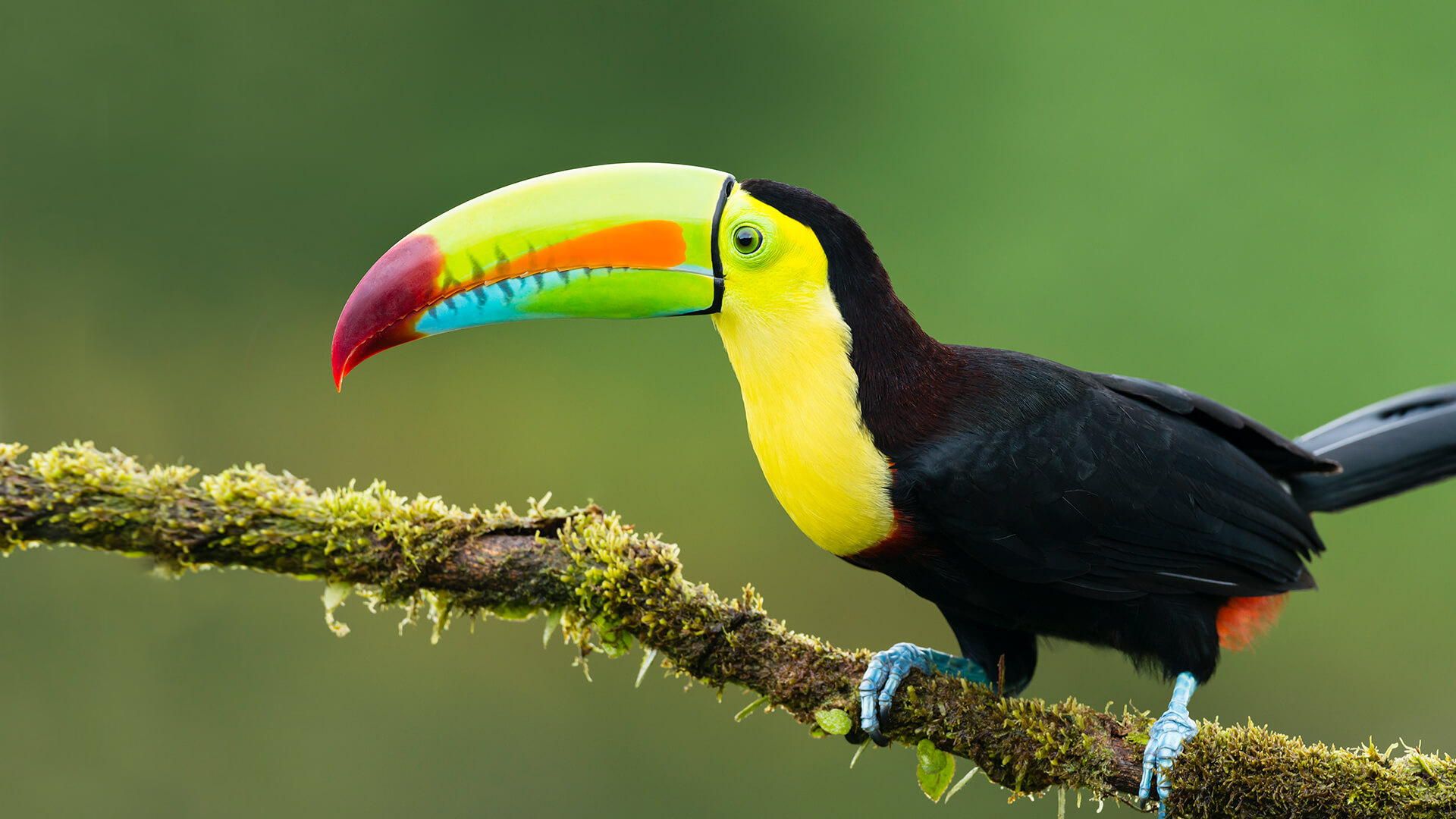 The entire body of Toucan is covered with black feathers.