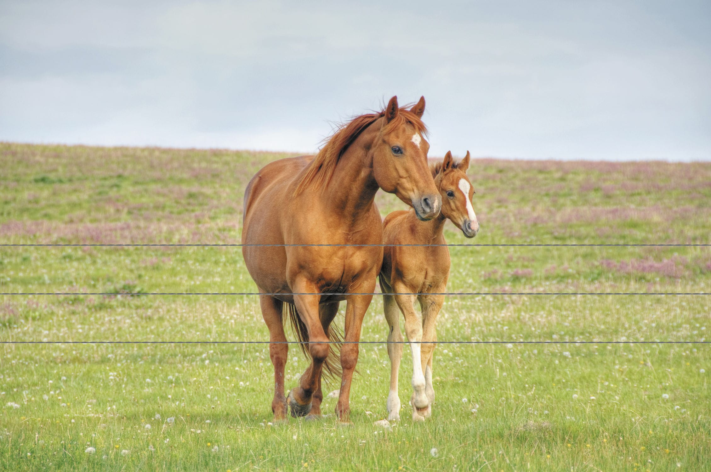 The gestation period for a mare is 11 months.