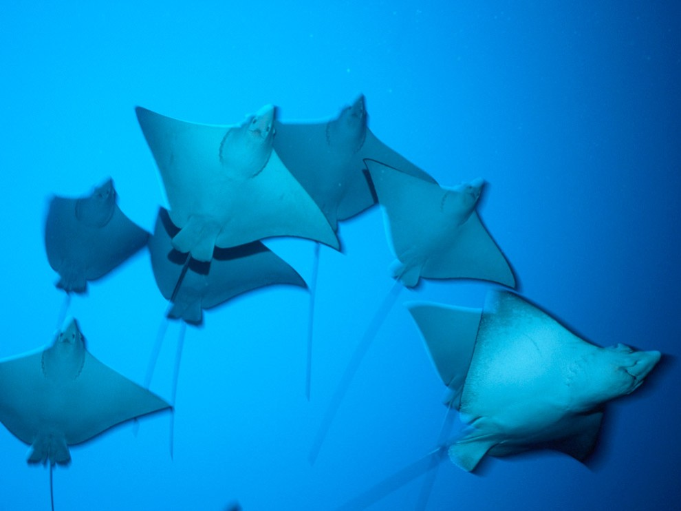 The groups of Stingrays are known as schools.