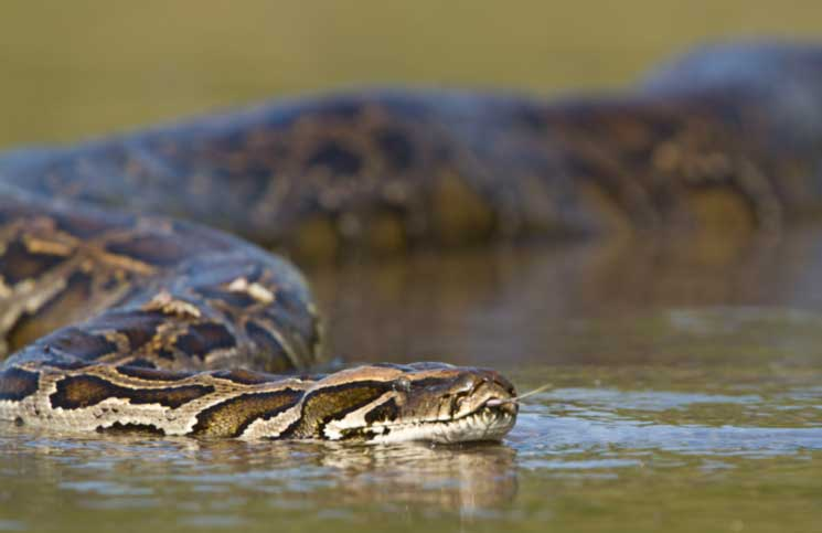 The heaviest snake in the world is the anaconda and it weighs over 595 pounds.