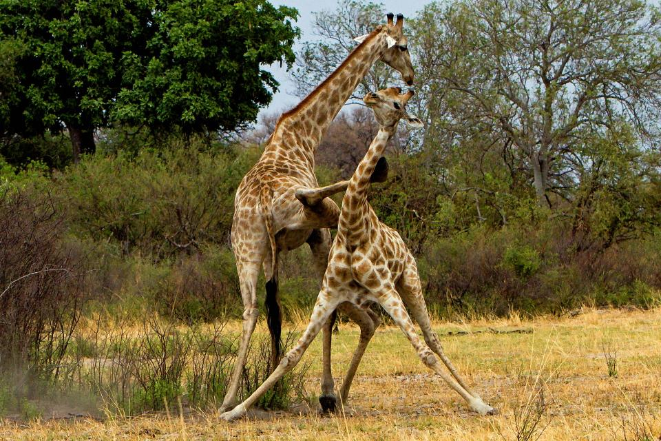 The kick of Giraffe is so strong that it can also kill a lion.