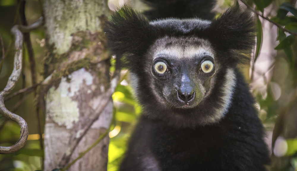 The largest lemur species is the indri.