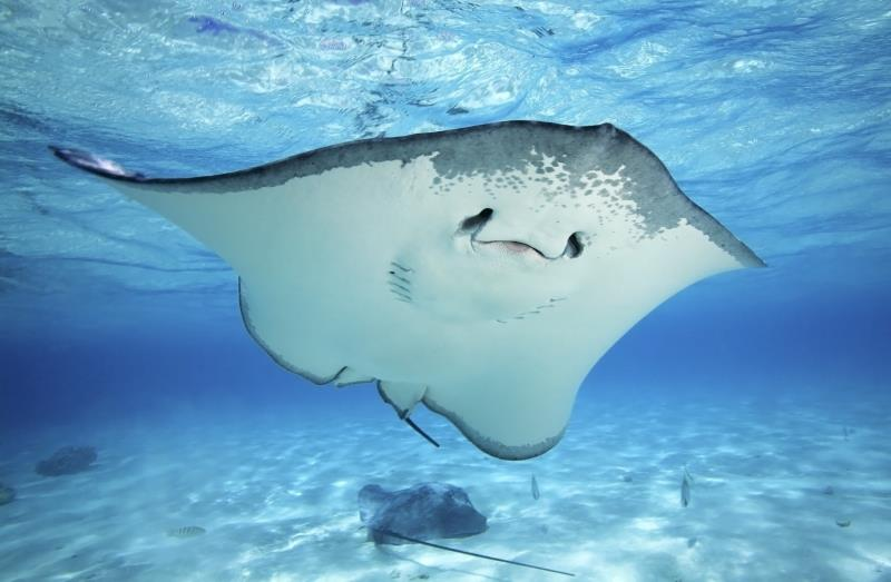 The largest species of stingray measure 6.5 feet in length.