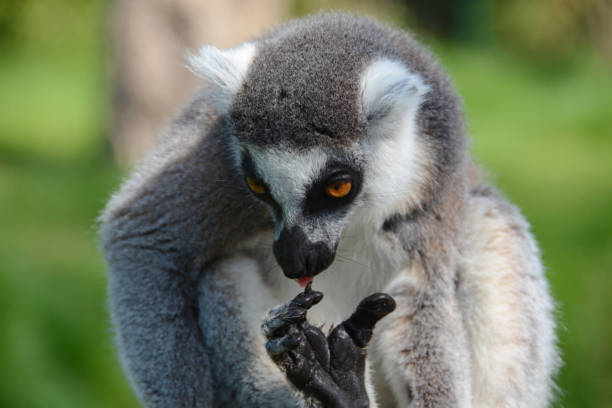 The lemur mostly attacks with its short nails.