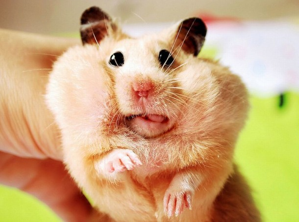 The most common hamster kept as a pet is called a golden-brown Syrian.