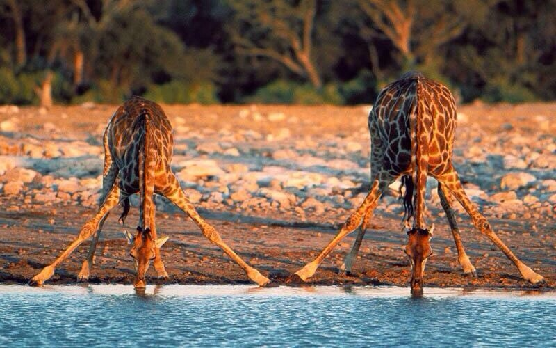 The neck of giraffe is too short to reach the ground. They spread their front legs to reach the ground for a drinking water.