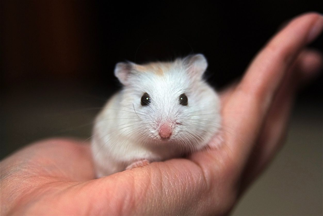 The smallest hamster is the tiny dwar.