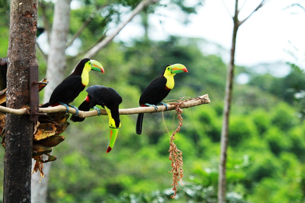 Toucans are usually found in small flocks.
