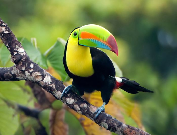 Toucans build their nest in tree hollows.