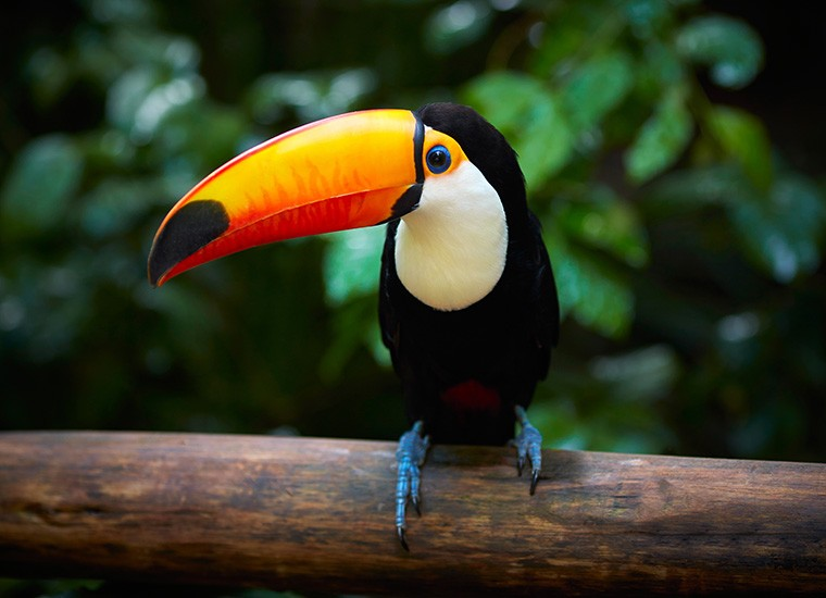 Toucans can also be found in savannah.