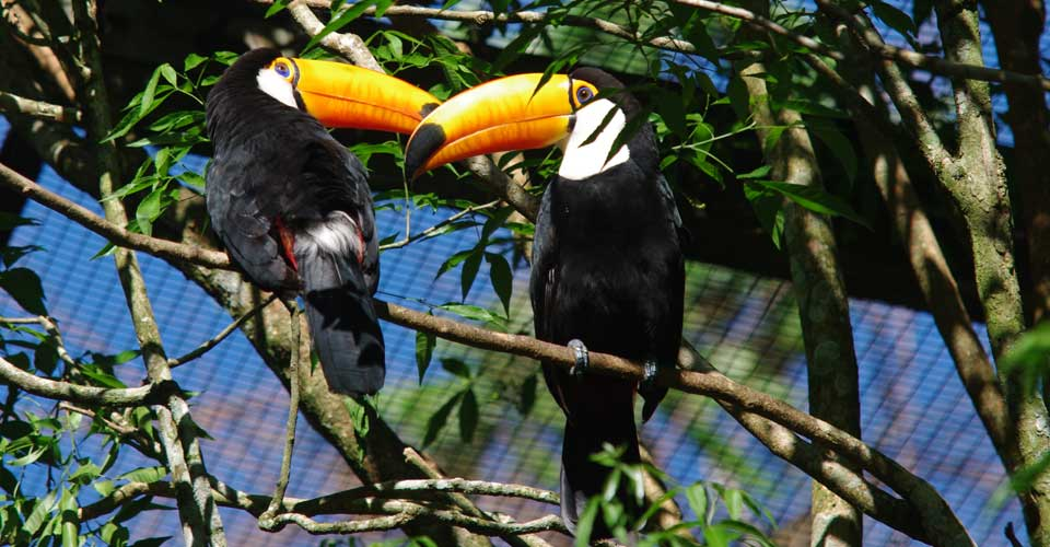 Toucans spend most of their life high in the treetops.
