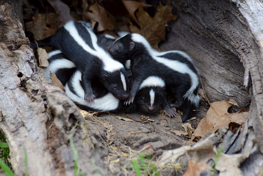 Baby skunk is called kit.