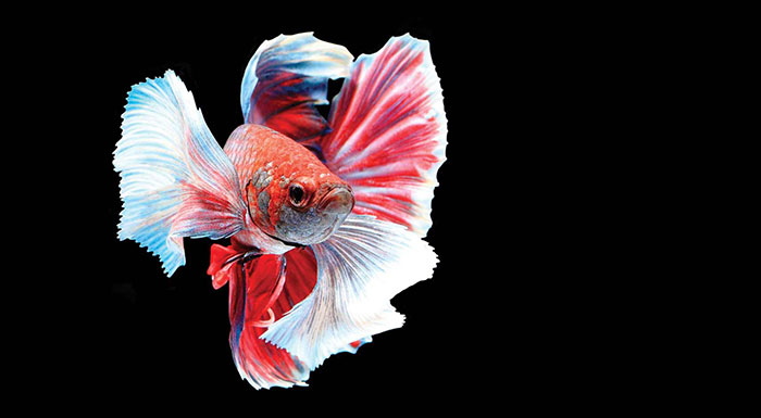 Betta Splendens are mostly used both for fighting and show.