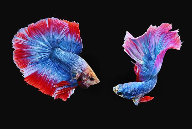 Betta fish also are known as Siamese fighting fish.