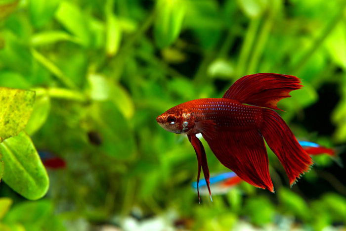 https://pethelpful.com/fish-aquariums/Do-Betta-Fish-Need-a-Heater-and-Filter-in-their-Tank
