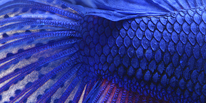 Dull-colored fins are the indication that Betta fish is ill.