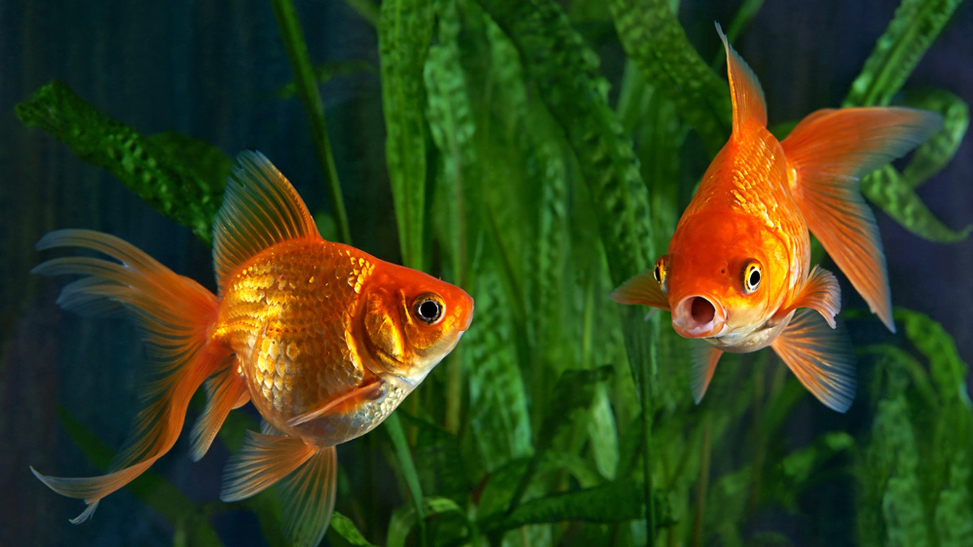 Goldfish can see Infrared radiation which is invisible to Human being.