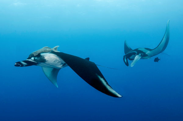 In 1933, Captain Jay Gould of Hollywood, Florida captured a manta ray that measured 19 feet, 9 inches.