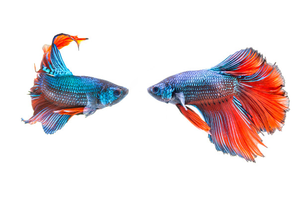 Male Betta fish protect their offspring.
