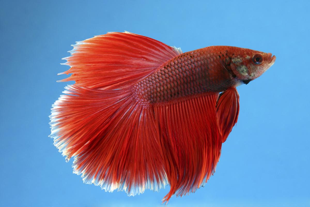 Males Betta fish can live with other fish species.