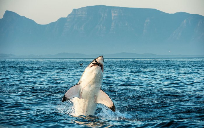 Megalodon's closest living relative is the great white shark.