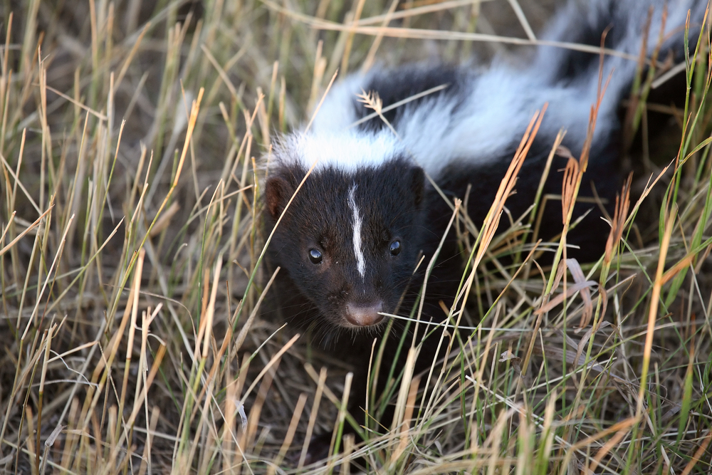 Skunks can run only 10 miles per hour.