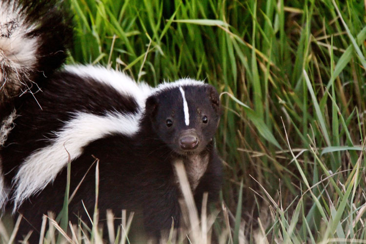 Skunks are not aggressive toward humans.