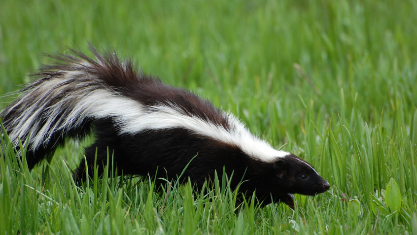 Skunks reach 8 to 19 inches in size and weigh up to 14 pounds.