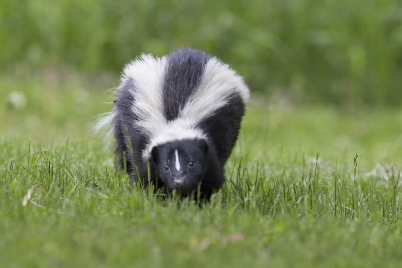 Skunks live mainly in North, Central and South America.