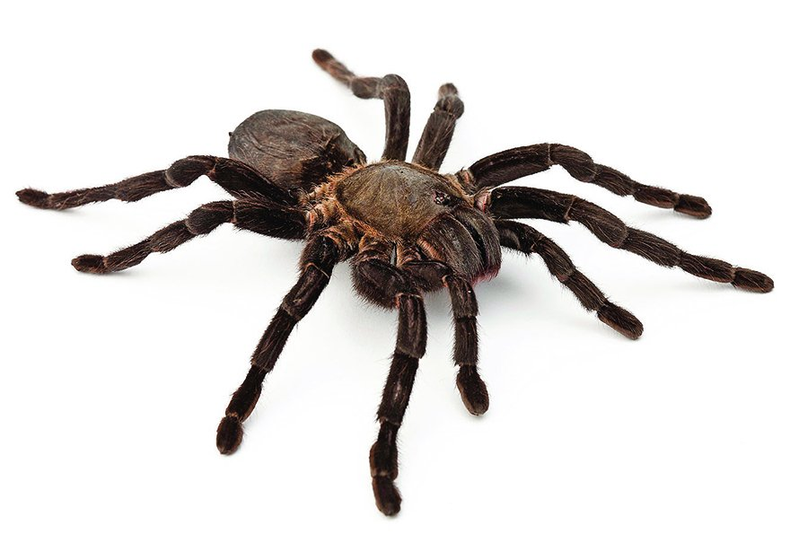 Spider has four legs touching the ground and four legs off the ground while traveling.
