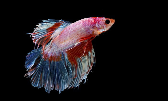 """The """"plakat,"""" is the technical name for this fighting fish which mean tearing."""