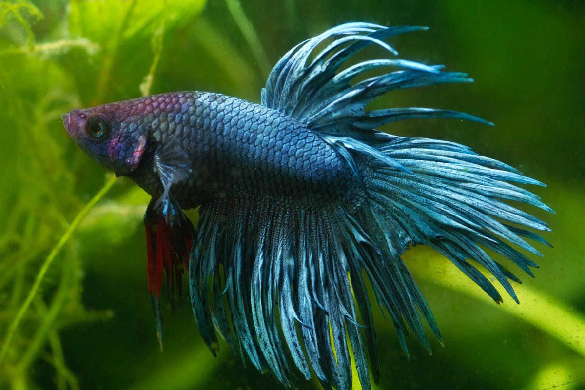 The betta was first discovered in Southeast Asia.
