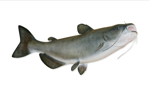 The catfish's entire body is covered with taste buds.