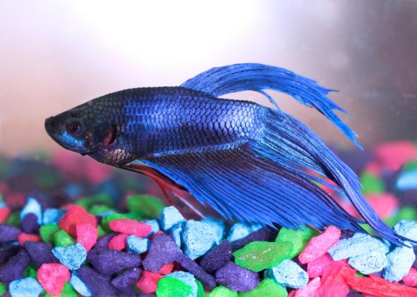 The fins of Betta fish contain nerve cells and even taste buds.