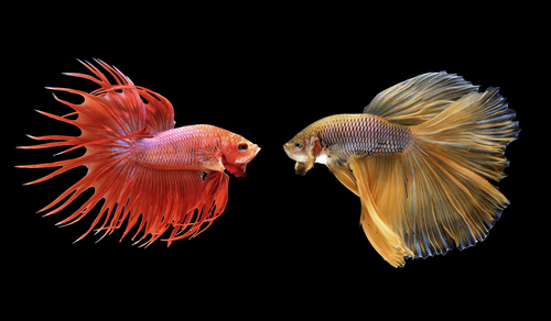The winning Betta would go on to fight until it died.