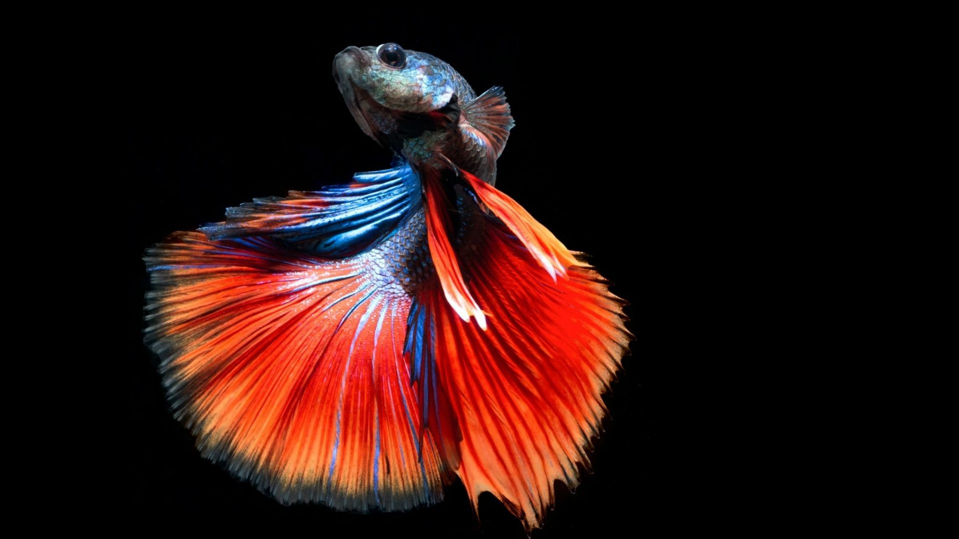 Siamese Betta Underwater Fighting Fish Tropical Psychedelic Dolphin Wallpaper