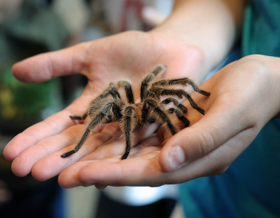 The tarantula is the most feared spiders in the world.