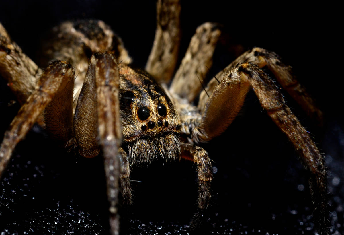 Wolf spiders can run at speeds of up to 2 feet per second.