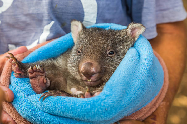 A baby wombat is called a Joey.