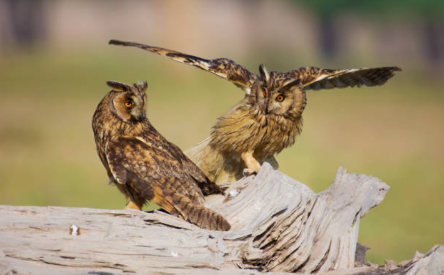 A group of owls is called a parliament.