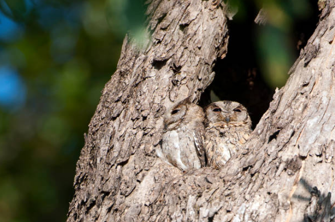 Elf Owl is one of the smallest owl in the world.