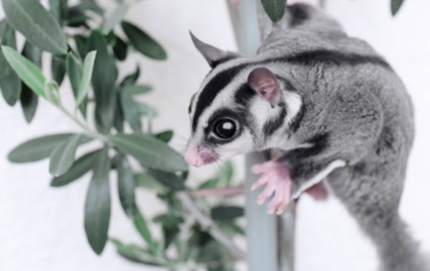 Sugar gliders mark their nests with urine.