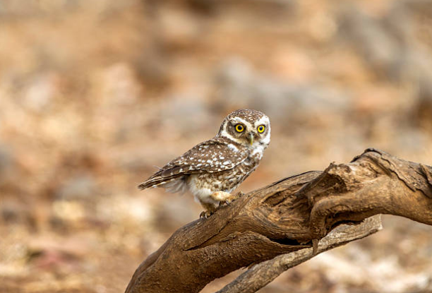 The Lifespan of owls is 20 years.