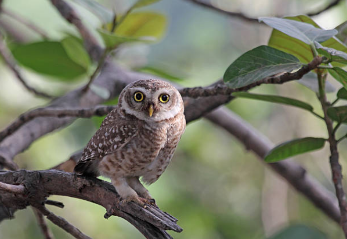 The long-legged burrowing owl lives in North and South America.