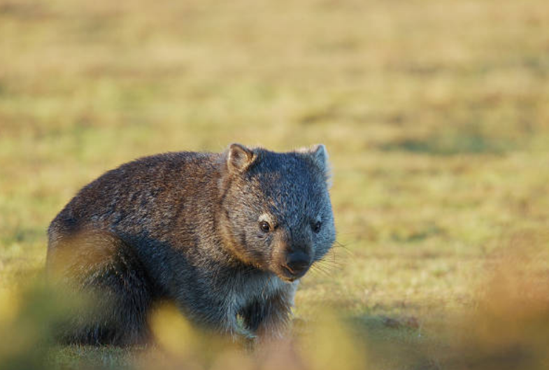 Wombats have fleshy upper and lower lips.