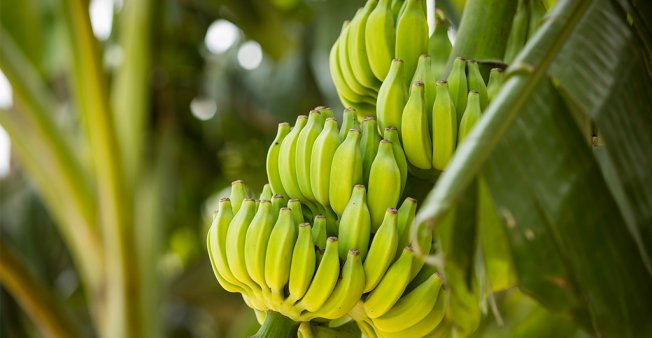 Ecuador is the world's largest exporter of bananas.